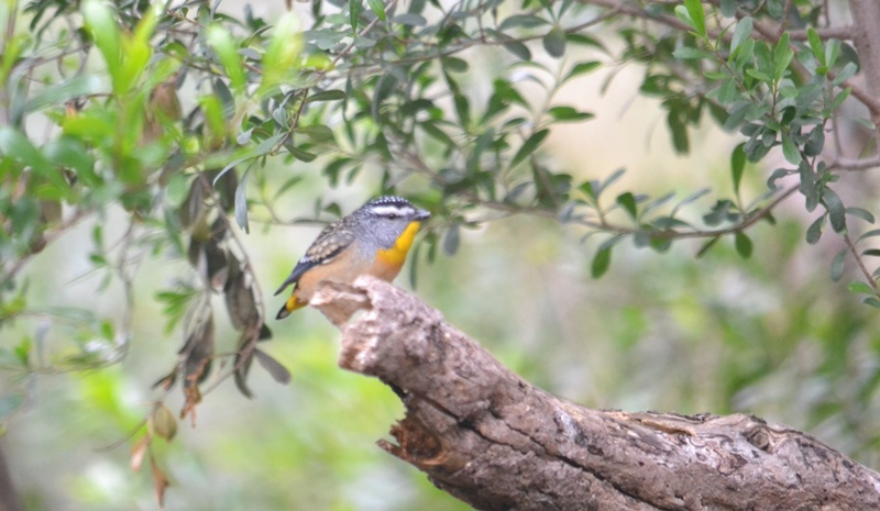 male pardalote