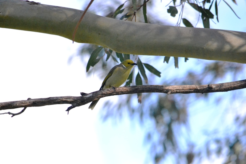 white plumed honey eater